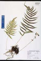 Thelypteris kunthii image
