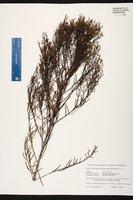 Baccharis angustifolia image