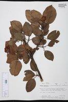 Arbutus madrensis image