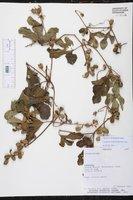 Cayaponia citrullifolia image
