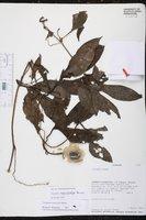 Image of Cayaponia macrocalyx