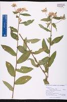 Pluchea longifolia image