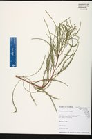 Image of Taxodium ascendens