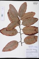 Corymbia torelliana image