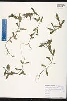 Hygrophila polysperma image