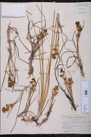 Scheuchzeria palustris var. americana image