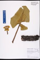 Nuphar advena subsp. advena image