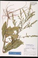 Pseudelephantopus spicatus image