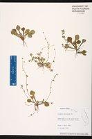 Erigeron bellioides image