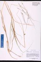 Chrysopogon pauciflorus image