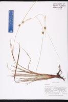 Carex elliottii image