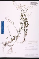 Cyanthillium cinereum image