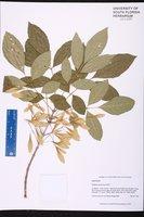 Fraxinus caroliniana image
