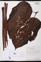 Image of Begonia mariti