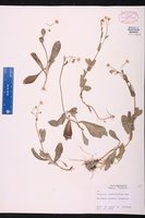 Erigeron quercifolius image