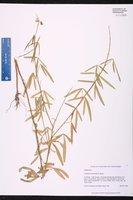 Crotalaria lanceolata image