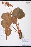 Begonia pinetorum image