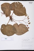 Begonia pustulata image