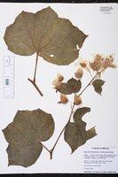 Begonia rhodochlamys image
