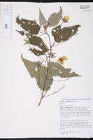 Image of Pavonia apiculata