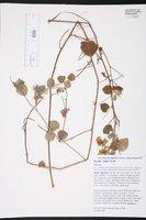 Image of Pavonia vannii