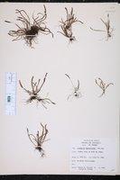 Image of Grammitis myosuroides