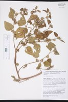 Image of Malvastrum amblyphyllum