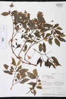 Image of Begonia urticae