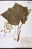Image of Begonia cardiocarpa