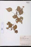 Begonia violifolia image