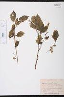 Begonia urticae image