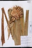 Aechmea magdalenae image