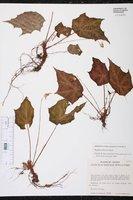 Image of Begonia calderonii
