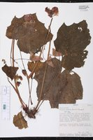 Begonia pudica image