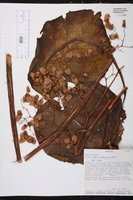 Begonia karwinskyana image