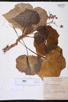 Begonia cardiocarpa image