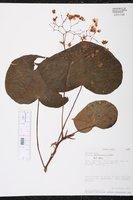 Begonia multinervia image