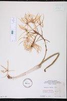 Brassavola subulifolia image