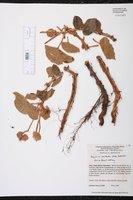 Begonia peltata image