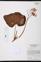 Begonia sartorii image