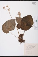 Begonia fimbriata image