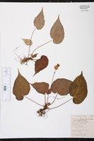 Image of Begonia fimbriata