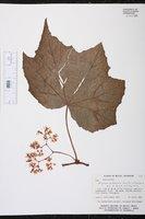 Begonia extranea image