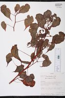 Begonia udisilvestris image