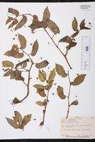 Begonia semiovata image