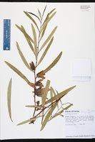 Asimina angustifolia image