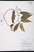 Begonia heydei image