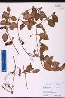 Coccocypselum hirsutum image