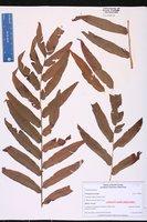 Thelypteris serrata image