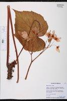 Begonia fusca image